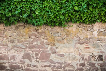 ivy wall: Stone wall overgrown with ivy Stock Photo