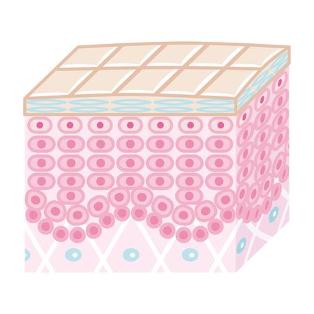 皮膚の断面図-良好な状態  イラスト・ベクター素材