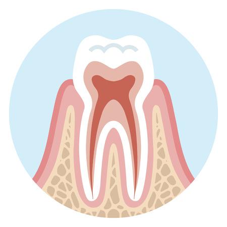 歯の断面図 - 健康