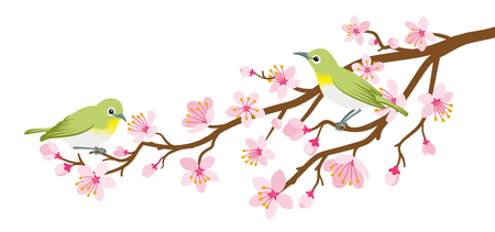Two small birds perch on cherry blossom branch -Zosterops japonicas