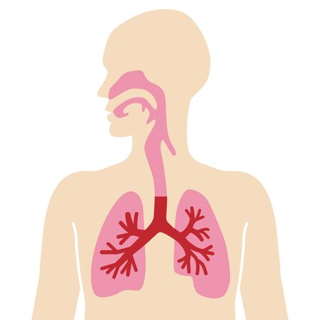 Anatomical human body diagram for Respiratory system  イラスト・ベクター素材