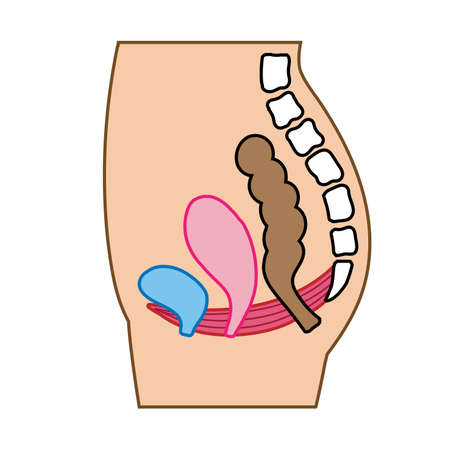 Illustrated illustration of the pelvic floor muscles Vectores