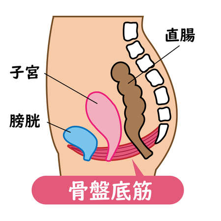 Illustrated illustration of the pelvic floor muscles