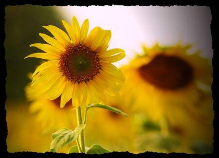 sun flower in thailand