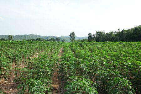 Cassava farm.