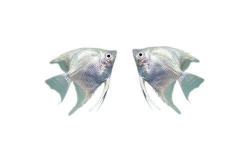 Ornamental fish.