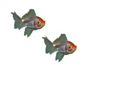 ornamental fish: Pesci ornamentali.