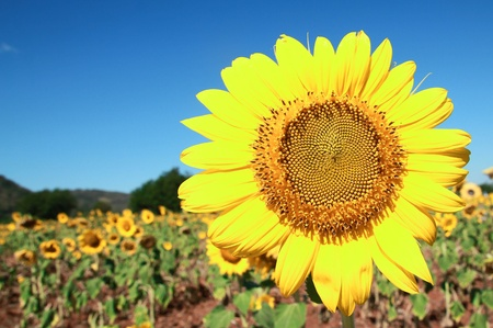 Beautiful fields of sunflowers. Saraburi Province, Thailand.