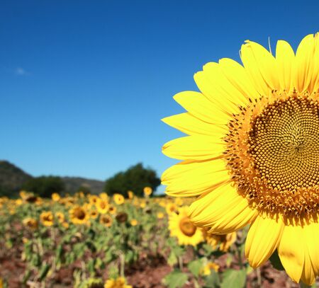 Beautiful fields of sunflowers. Saraburi Province, Thailand. photo