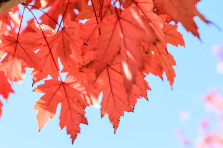 Maple trees photo