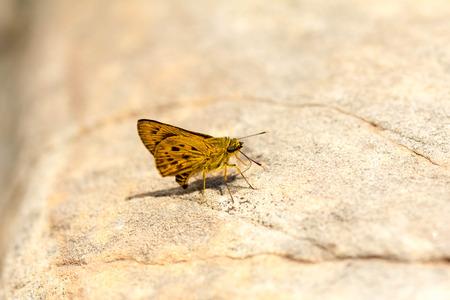 plexippus: Butterflies in the wild