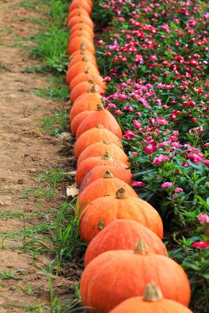 Pumpkin in one row
