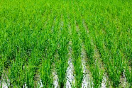 Paddy field Stock Photo