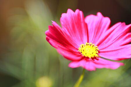 Starburst flowers Editorial