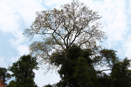 Big tree Editorial