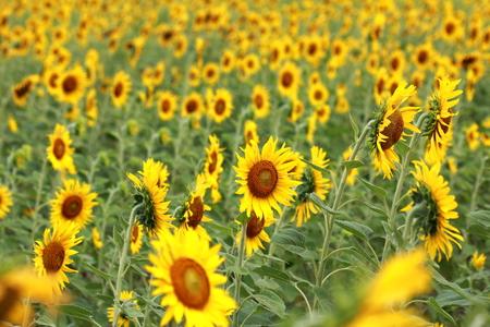 Sunflowers garden