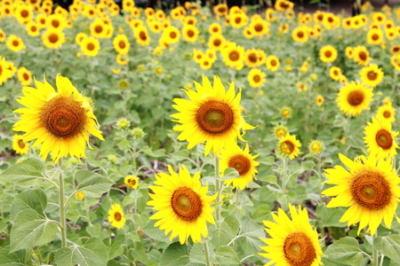 Sonnenblumen Garten