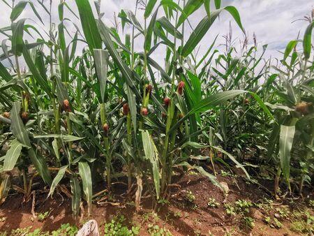 Maize ranch Standard-Bild
