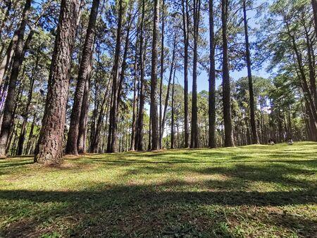 Mountain pine Standard-Bild