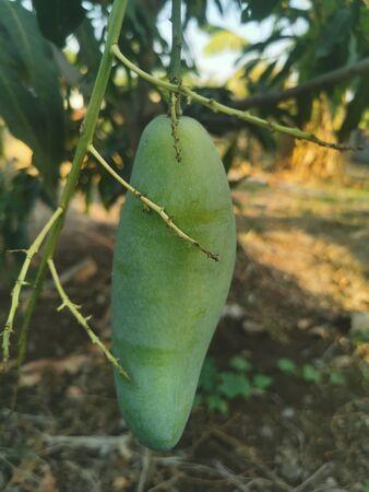 Mango fruit on the tree