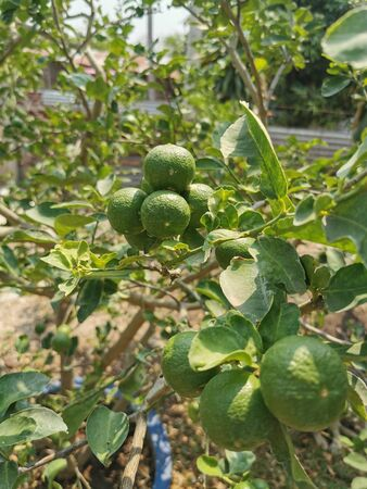 Dark green lime on the tree Standard-Bild