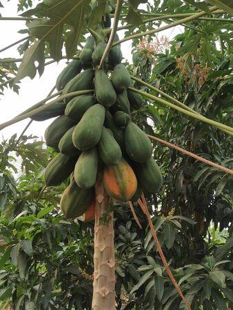 Many papaya on the tree