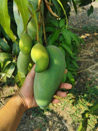 Mango fruit Standard-Bild