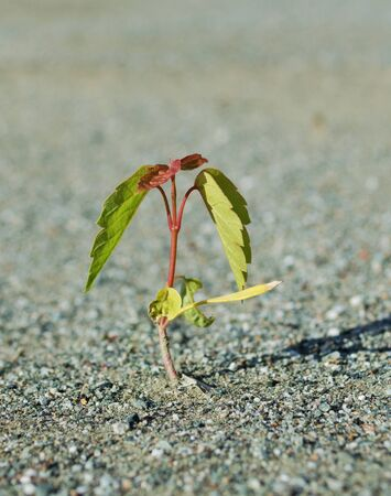 sandy soil: Young green sprout, growing from the lifeless sandy soil