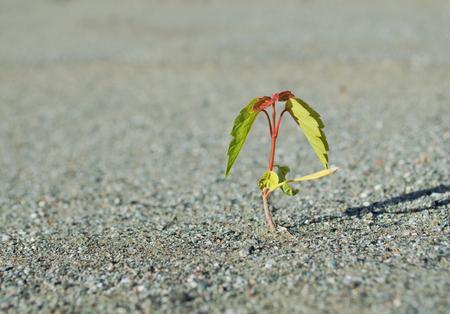 suelo arenoso: J�venes brotes verdes, que crece desde el suelo arenoso sin vida