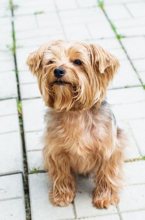 pelo castaño claro: Yorkshire Terrier en la caminata en el fondo de la zona, que está pavimentado con baldosas de pavimentación
