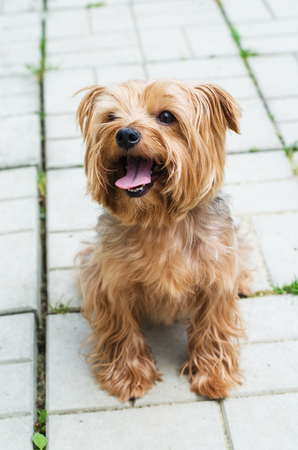 empedrado: Yorkshire Terrier on the walk on the background of the area, which is paved with paving tiles Foto de archivo