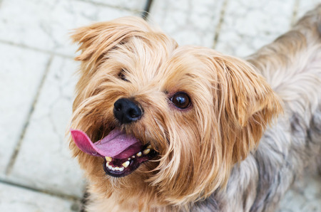 Yorkshire Terrier on the walk on the background of the area, which is paved with paving tiles Stock Photo