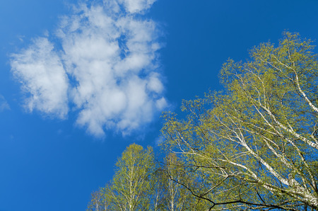 unusual natural background. Tree branches and white cloud on blue sky background Stock Photo