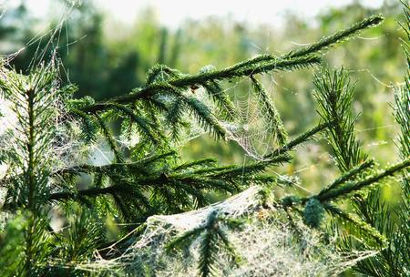 昇る太陽の光線の中のモミの枝の上のウェブ