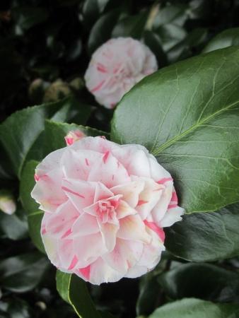 japonica: Camellia Japonica