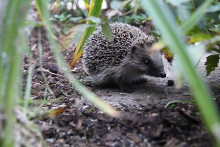 undergrowth: Hedgehog in the undergrowth