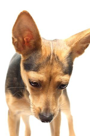 rusian toy terrier isolated on white looking down photo