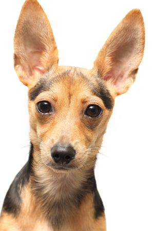 rusian toy terrier isolated on white photo