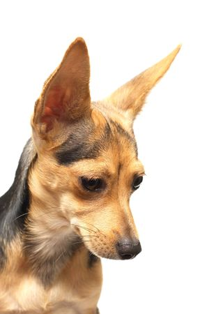 rusian toy terrier isolated on white looking aside photo
