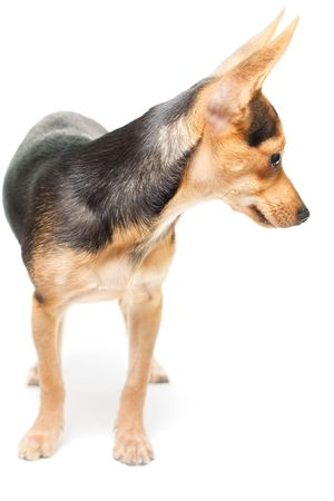 russian toy terrier isolated on white with small shadow photo