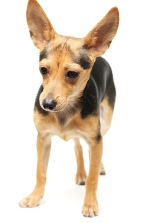 russian toy terrier isolated on white photo