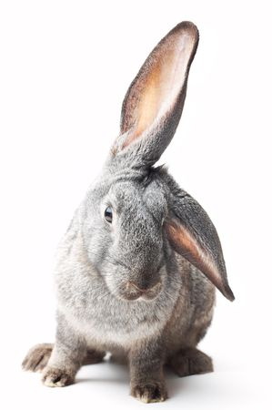 portrait of curious rabbit on white photo