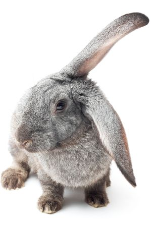 portrait of rabbit isolated on white with shadow photo