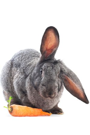 portrait of eatig rabbit with carrot isolated on white photo