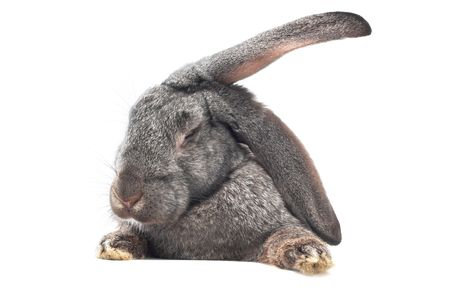 close-up image of rabbit isolated on white photo