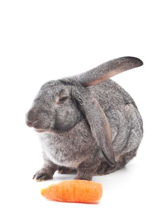 rabbit with carrot isolated on white photo