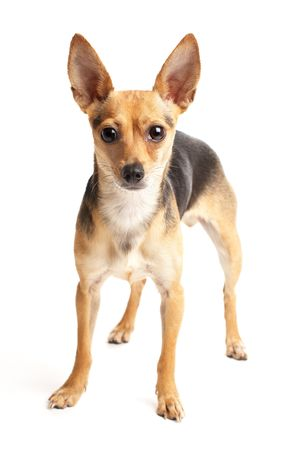 portrait of small doggy (toy-terrier) on white photo