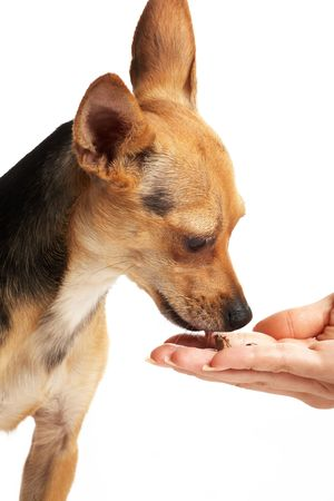 portrait of toy-terrier eating dainty from hand on white photo