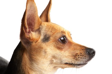 close-up portrait of small doggy (Russian toy-terrier) on white photo