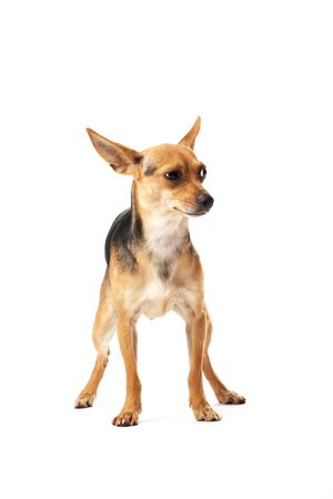 toy terrier: Little Doggy (terrier toy) isolato su bianco